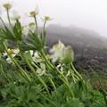 高山植物 1