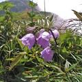 高山植物 3