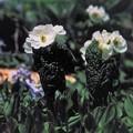 高山植物 6
