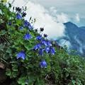 高山植物 7
