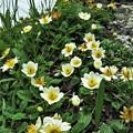 高山植物 8