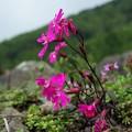 高山植物 9
