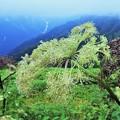 高山植物 12