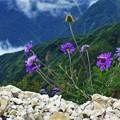 高山植物 13