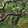 シロヤシオ樹形 1