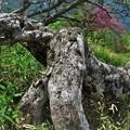 シロヤシオ樹形 2