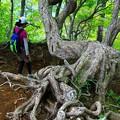 シロヤシオ樹形 3