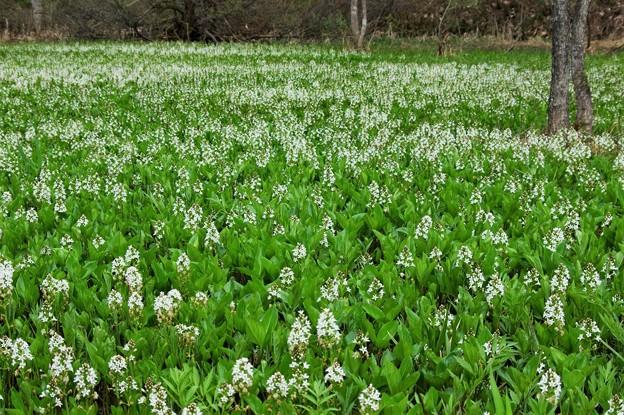Photos: 単一植物だけの湿原