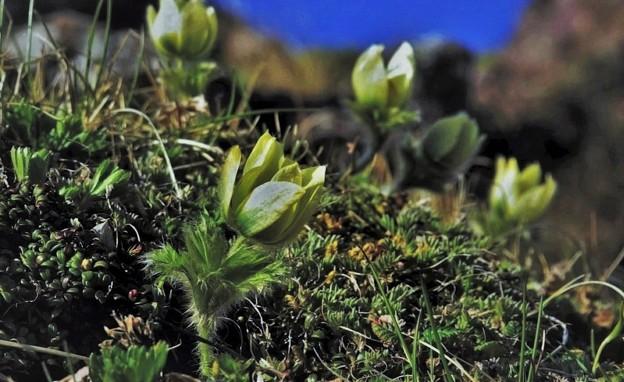 高山植物 14