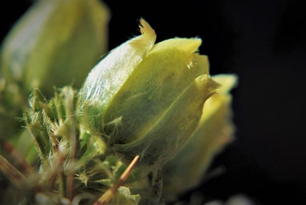高山植物 15