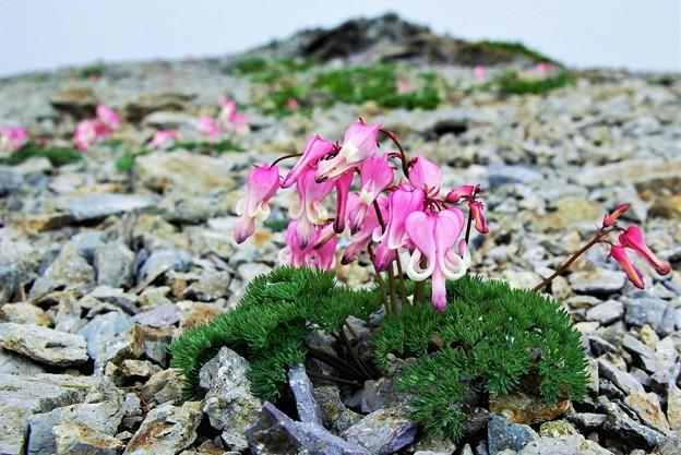 高山植物 16