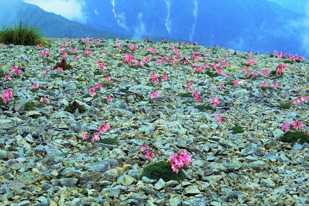 高山植物 17