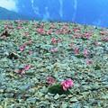 Photos: 高山植物 17