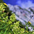 高山植物 20