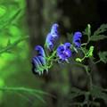 Photos: 高山植物 21