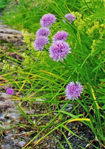 高山植物 26