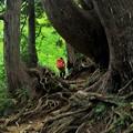 巨木の登山道