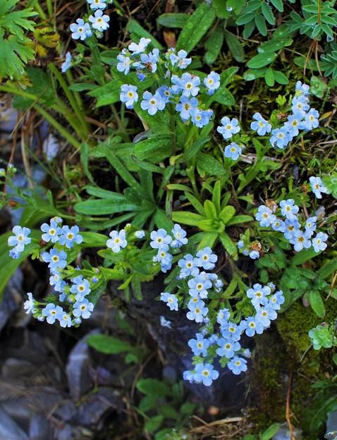 高山植物 27