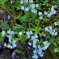 Photos: 高山植物 27