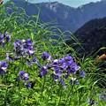 高山植物 29