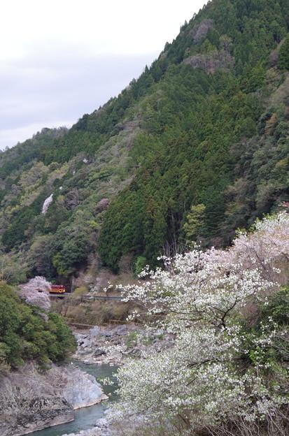 サクラ咲く保津川峡谷を行くトロッコ