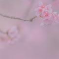 Photos: 参道の桜