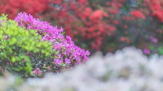 Photos: 美しいつつじ