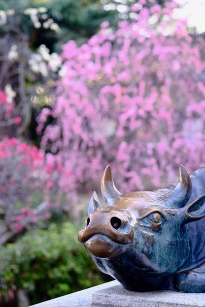 Photos: 牛と天満宮-大阪府藤井寺市:道明寺天満宮