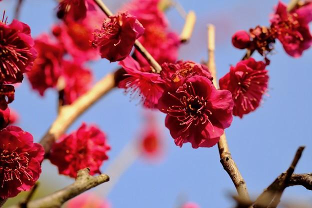 春の訪れ-大阪府藤井寺市:道明寺天満宮