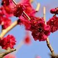 Photos: 春の訪れ-大阪府藤井寺市:道明寺天満宮