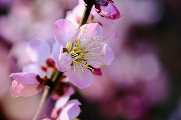 梅が咲いて…-大阪府藤井寺市:道明寺天満宮