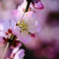 Photos: 梅が咲いて…-大阪府藤井寺市:道明寺天満宮