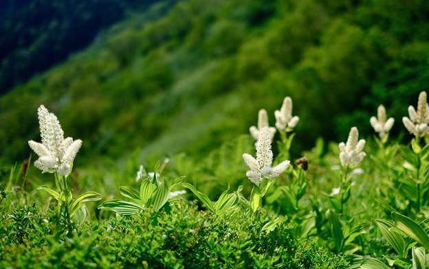 高山植物に元気づけられ-長野県安曇野市:表銀座縦走路