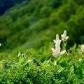 Photos: 高山植物に元気づけられ-長野県安曇野市:表銀座縦走路