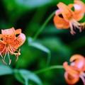 高山植物の楽園-長野県安曇野市:常念岳