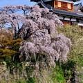 Photos: 大和路の桜-奈良県大和郡山市:郡山城址