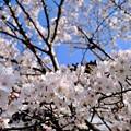 刹那的な美しさ-奈良県大和郡山市:郡山城址