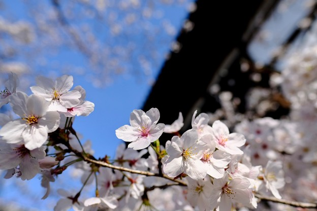 青空と桜-奈良県大和郡山市:郡山城址