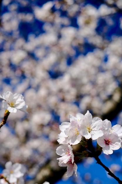桜の微笑み-奈良県大和郡山市:郡山城址