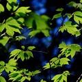 新緑-長野県上松町:赤沢自然休養林