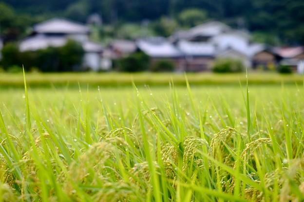 収穫の季節を待ちわびて-長野県伊那市:長谷黒河内