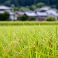 Photos: 収穫の季節を待ちわびて-長野県伊那市:長谷黒河内