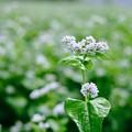 蕎麦の花-長野県伊那市:長谷黒河内
