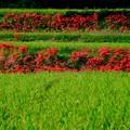 Photos: 今年の秋はどうなるやら-奈良県御所市:一言主神社