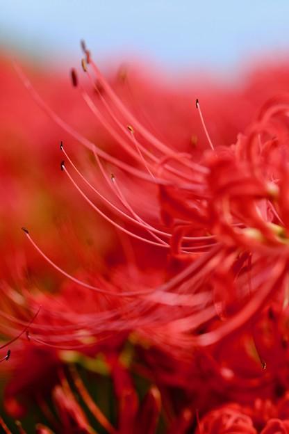 彼岸花の撮影-奈良県御所市:九品寺
