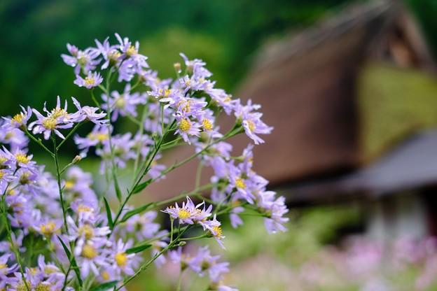 花の区別は難しい-京都府南丹市:美山