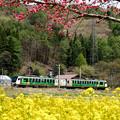 Photos: 春色列車