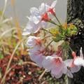 Photos: 道端の桜
