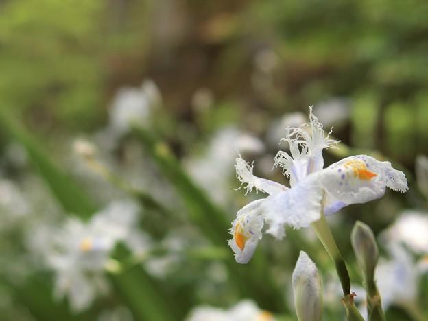 シャガの花を撮ってたら