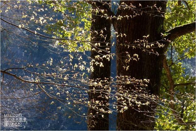 イロハモミジ芽吹き (2)